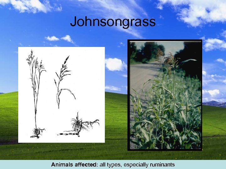 Johnsongrass Animals affected: all types, especially ruminants