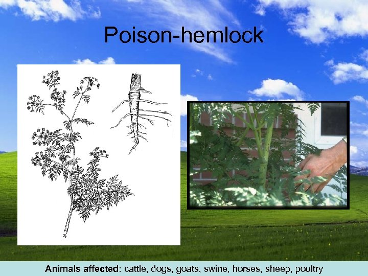 Poison-hemlock Animals affected: cattle, dogs, goats, swine, horses, sheep, poultry