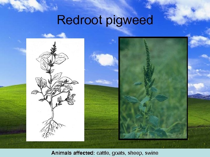 Redroot pigweed Animals affected: cattle, goats, sheep, swine