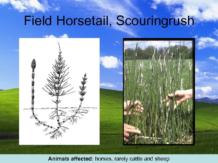 Field Horsetail, Scouringrush Animals affected: horses, rarely cattle and sheep