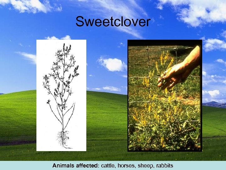 Sweetclover Animals affected: cattle, horses, sheep, rabbits