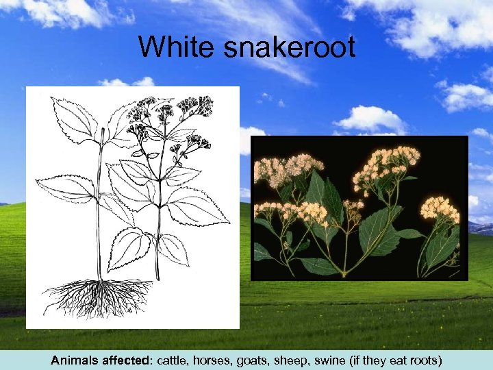 White snakeroot Animals affected: cattle, horses, goats, sheep, swine (if they eat roots)