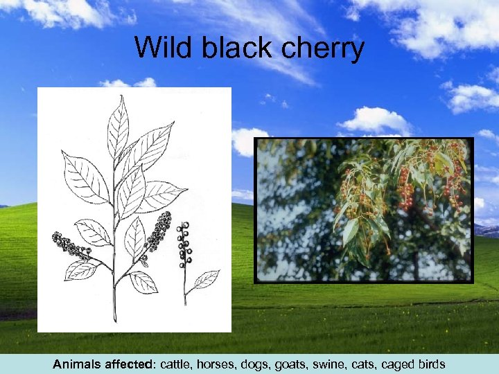 Wild black cherry Animals affected: cattle, horses, dogs, goats, swine, cats, caged birds