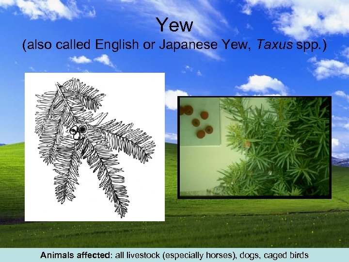 Yew (also called English or Japanese Yew, Taxus spp. ) Animals affected: all livestock