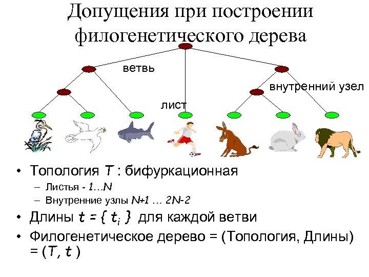 Допущения при построении филогенетического дерева ветвь внутренний узел лист • Топология T : бифуркационная