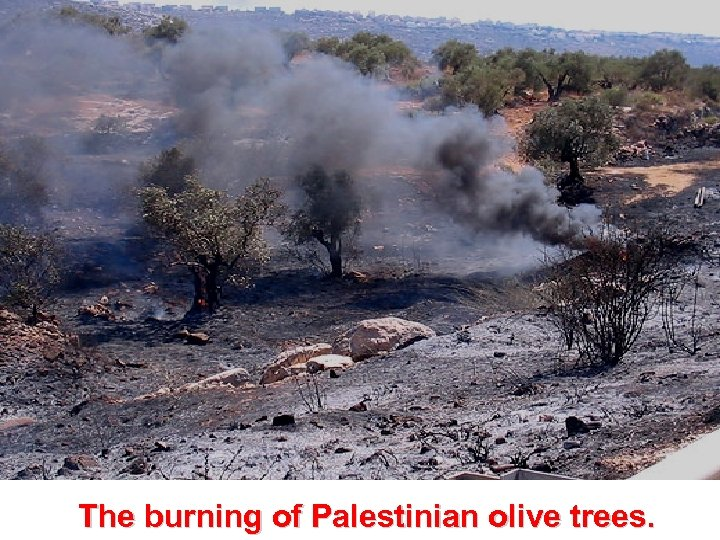 The burning of Palestinian olive trees.