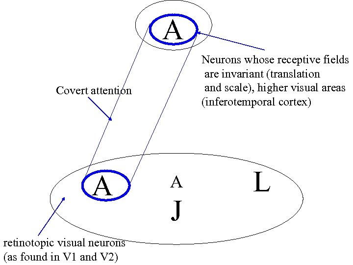 A Neurons whose receptive fields are invariant (translation and scale), higher visual areas (inferotemporal