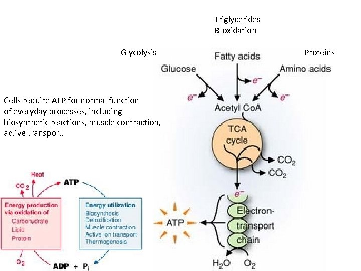 Triglycerides Β-oxidation Glycolysis Cells require ATP for normal function of everyday processes, including biosynthetic