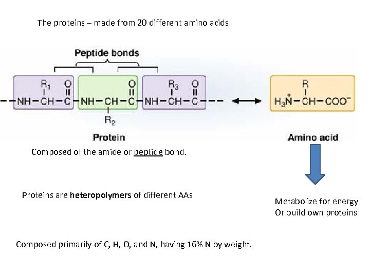 The proteins – made from 20 different amino acids Composed of the amide or