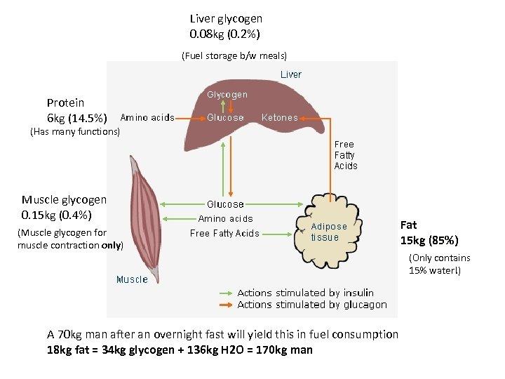 Liver glycogen 0. 08 kg (0. 2%) (Fuel storage b/w meals) Protein 6 kg