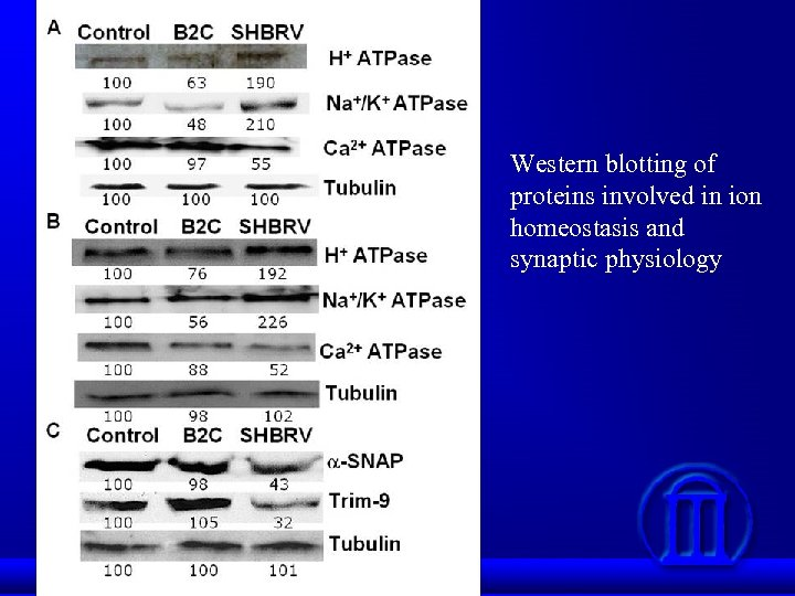 Western blotting of proteins involved in ion homeostasis and synaptic physiology