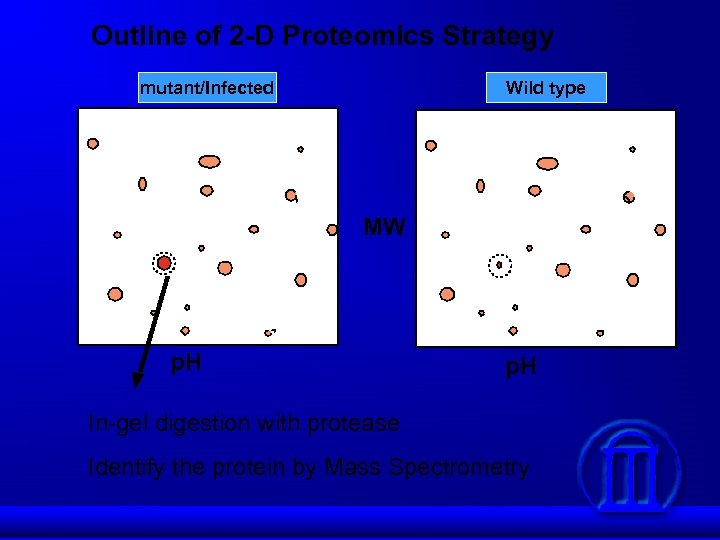 Outline of 2 -D Proteomics Strategy mutant/Infected Wild type MW p. H In-gel digestion