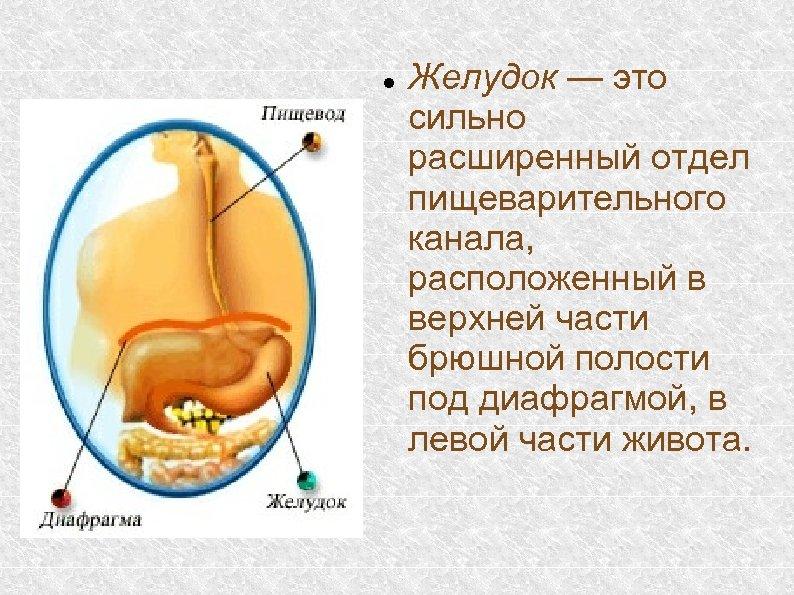 Желудок — это сильно расширенный отдел пищеварительного канала, расположенный в верхней части брюшной