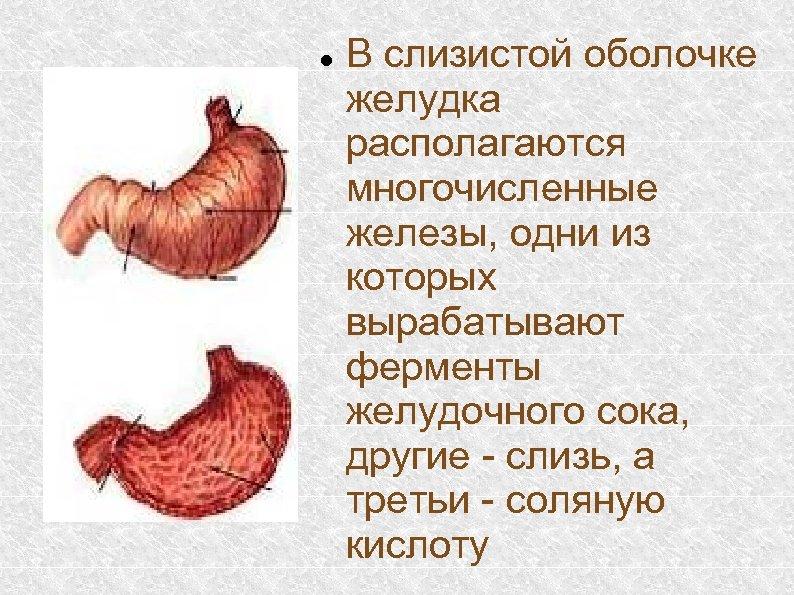 В слизистой оболочке желудка располагаются многочисленные железы, одни из которых вырабатывают ферменты желудочного