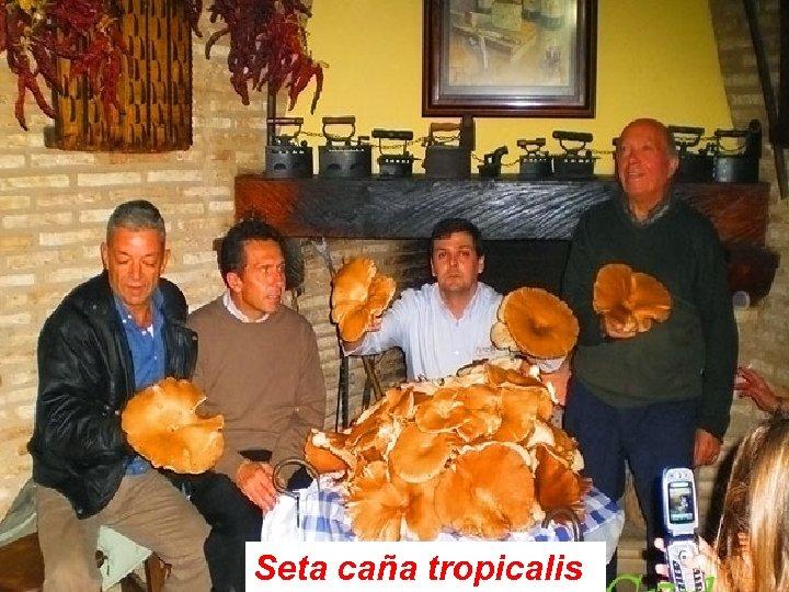 Seta caña tropicalis