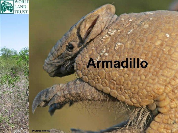 Armadillo © Andrea Ferriera
