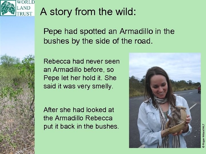 A story from the wild: Pepe had spotted an Armadillo in the bushes by