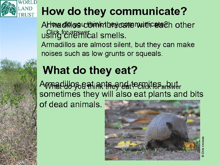 How do they communicate? How do you think they communicate? Armadillos communicate with each