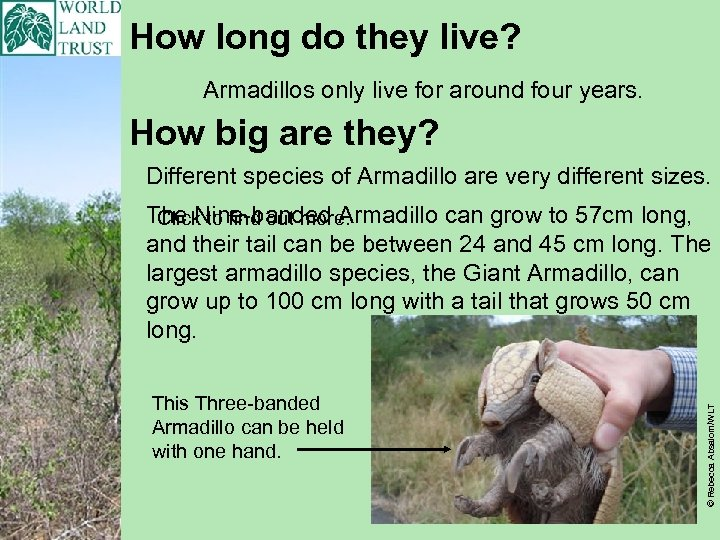 How long do they live? Armadillos only live for around four years. How big