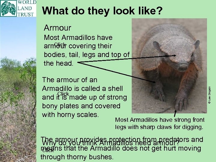 What do they look like? Armour The armour of an Armadillo is called a