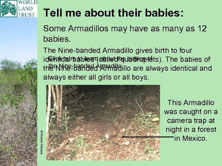 Tell me about their babies: Some Armadillos may have as many as 12 babies.