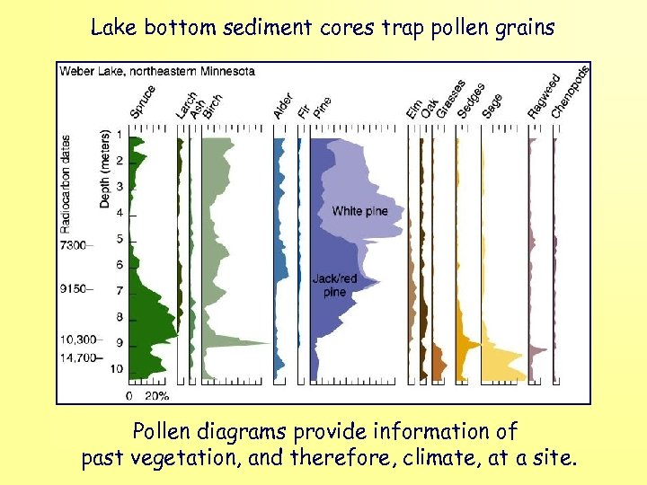 Lake bottom sediment cores trap pollen grains Pollen diagrams provide information of past vegetation,