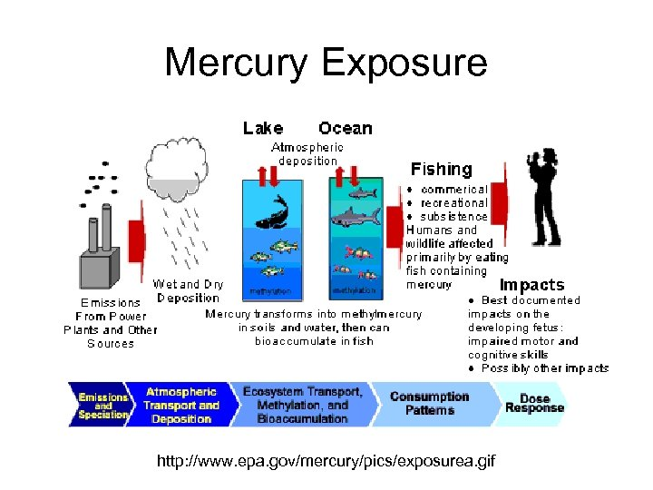 Mercury Exposure http: //www. epa. gov/mercury/pics/exposurea. gif