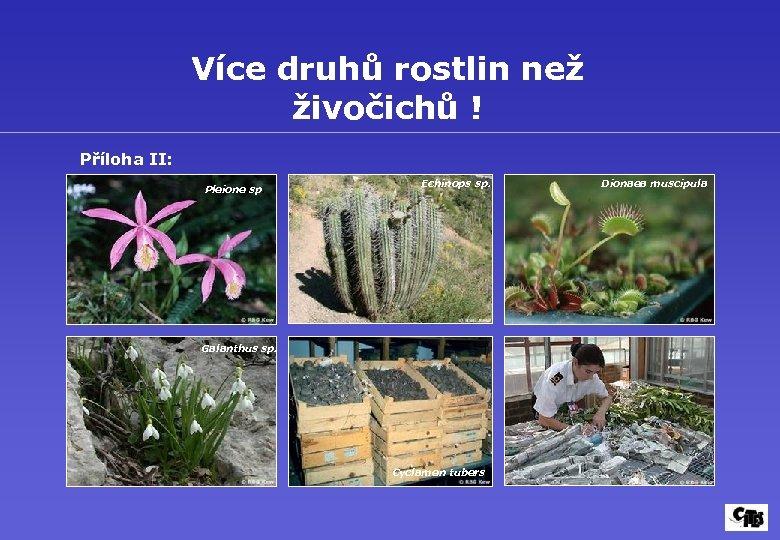 Více druhů rostlin než živočichů ! Příloha II: Pleione sp. Echinops sp. Galanthus sp.