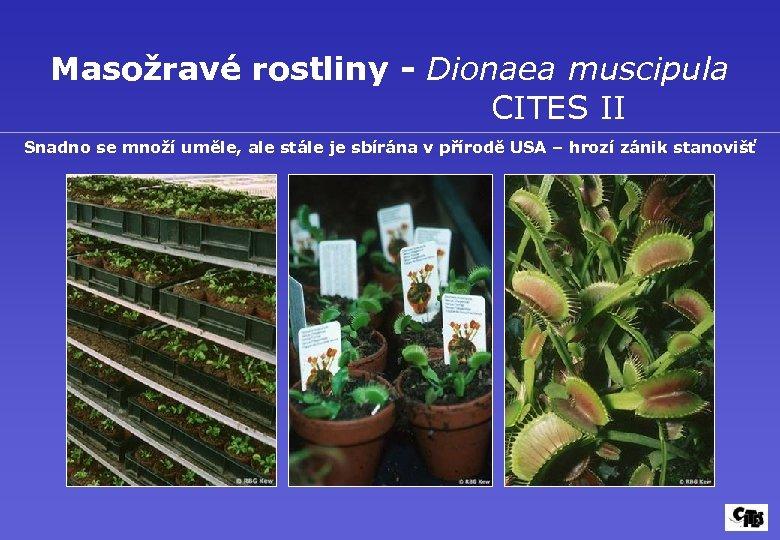 Masožravé rostliny - Dionaea muscipula CITES II Snadno se množí uměle, ale stále je