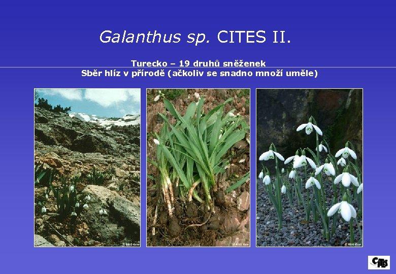 Galanthus sp. CITES II. Turecko – 19 druhů sněženek Sběr hlíz v přírodě (ačkoliv