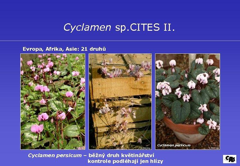 Cyclamen sp. CITES II. Evropa, Afrika, Asie: 21 druhů Cyclamen persicum – běžný druh