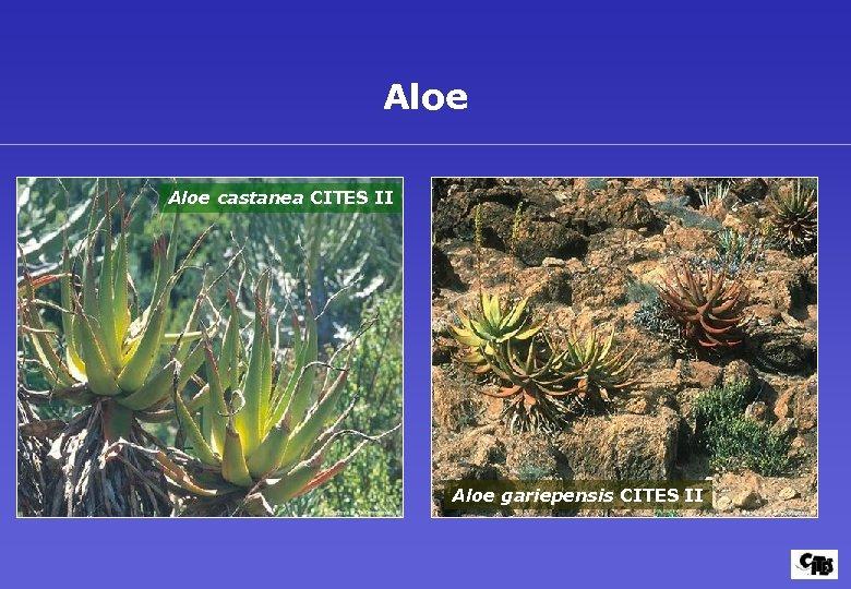 Aloe castanea CITES II Aloe gariepensis CITES II