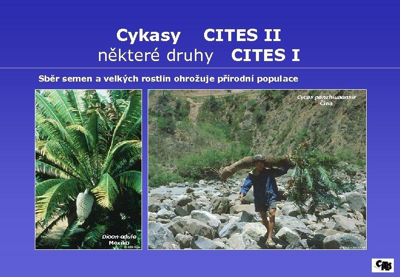 Cykasy CITES II některé druhy CITES I Sběr semen a velkých rostlin ohrožuje přírodní