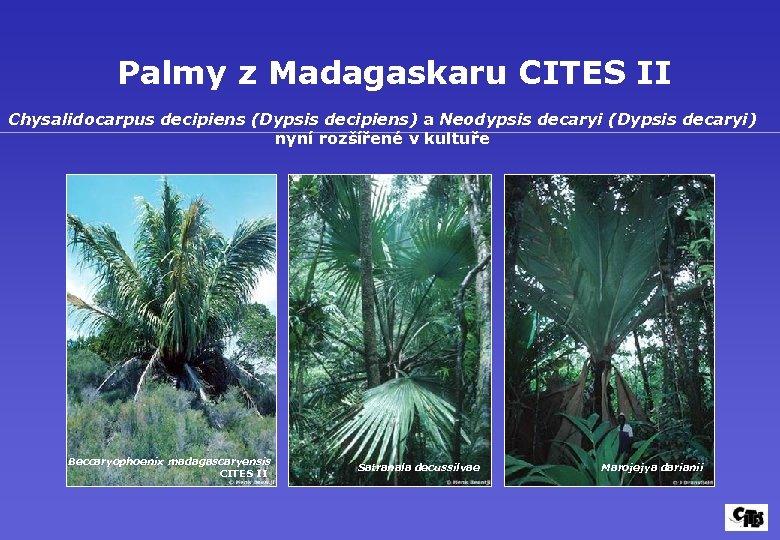 Palmy z Madagaskaru CITES II Chysalidocarpus decipiens (Dypsis decipiens) a Neodypsis decaryi (Dypsis decaryi)