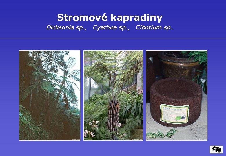 Stromové kapradiny Dicksonia sp. , Cyathea sp. , Cibotium sp.