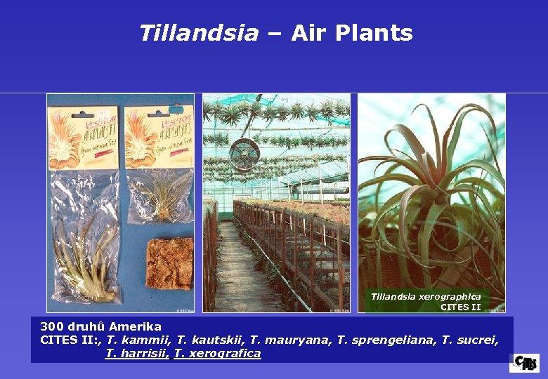 Tillandsia – Air Plants Tillandsia xerographica CITES II 300 druhů Amerika CITES II: ,