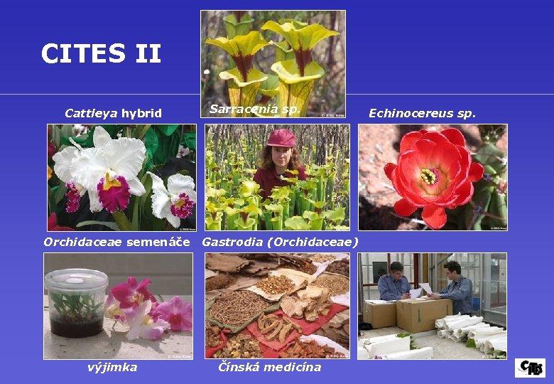 CITES II Cattleya hybrid Orchidaceae semenáče výjimka Sarracenia sp. Gastrodia (Orchidaceae) Čínská medicína Echinocereus