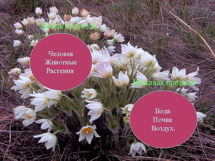 Живая природа Человек Животные Растения Неживая природа Вода Почва Воздух.