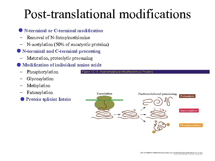 Post-translational modifications ● N-terminal or C-terminal modification – Removal of N-formylmethionine – N-acetylation (50%