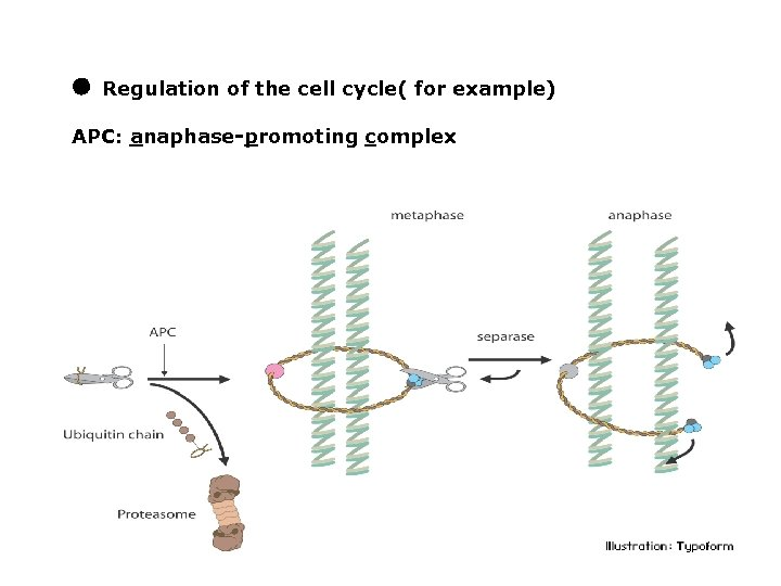 ● Regulation of the cell cycle( for example) APC: anaphase-promoting complex