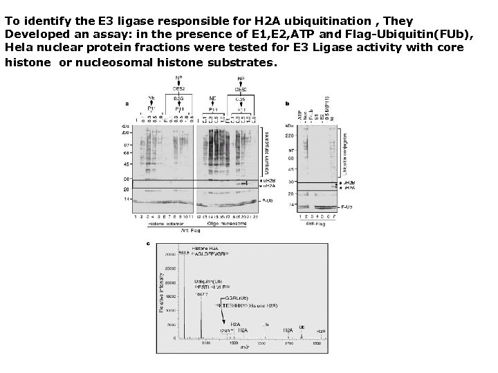 To identify the E 3 ligase responsible for H 2 A ubiquitination , They