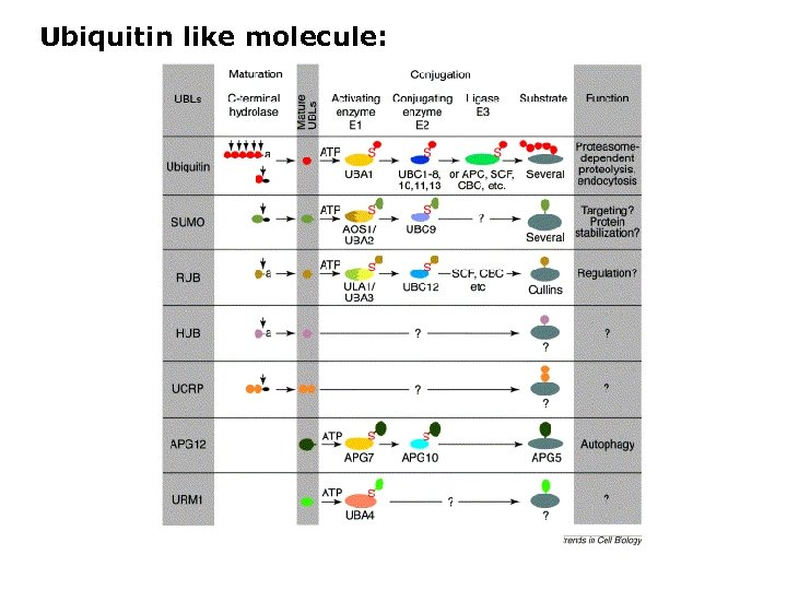 Ubiquitin like molecule: