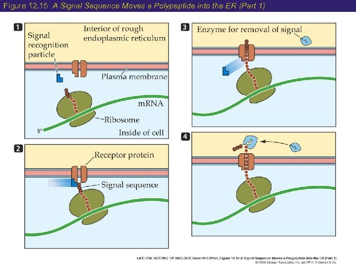 Figure 12. 15 A Signal Sequence Moves a Polypeptide into the ER (Part 1)