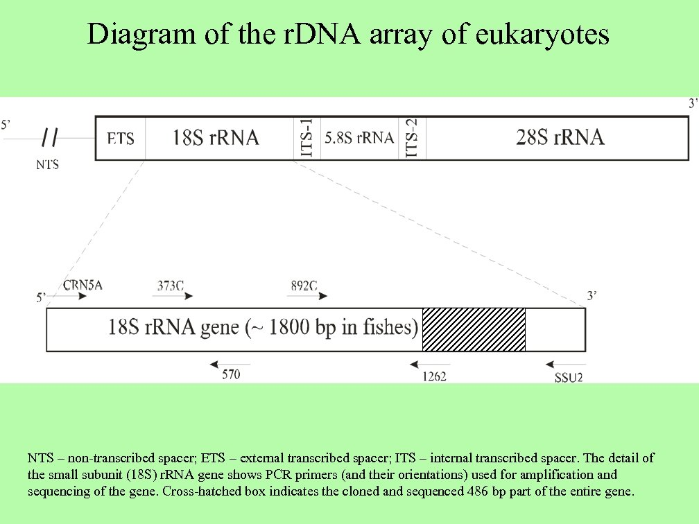 Diagram of the r. DNA array of eukaryotes NTS – non-transcribed spacer; ETS –