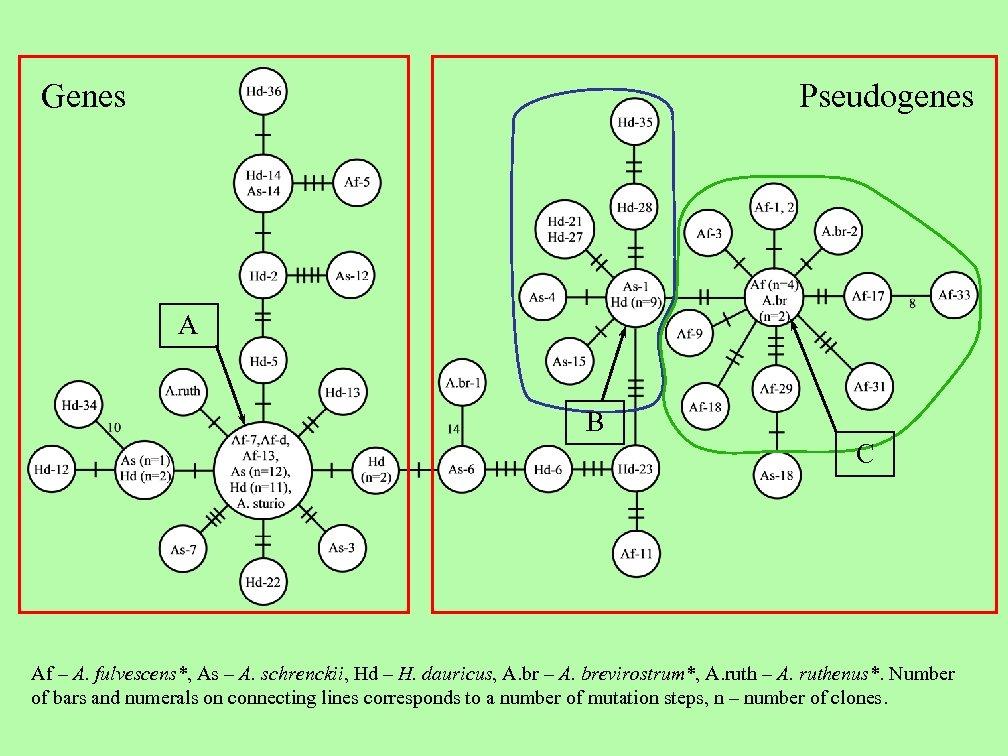 Genes Pseudogenes A B C Af – A. fulvescens*, As – A. schrenckii, Hd