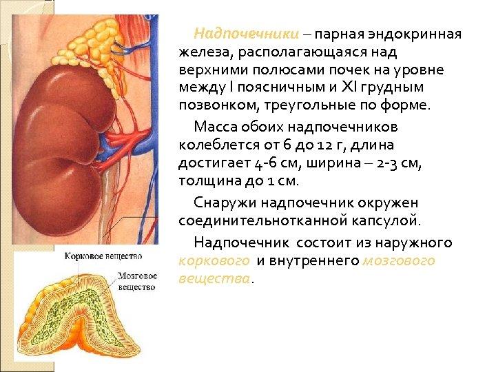 Надпочечники – парная эндокринная железа, располагающаяся над верхними полюсами почек на уровне между I