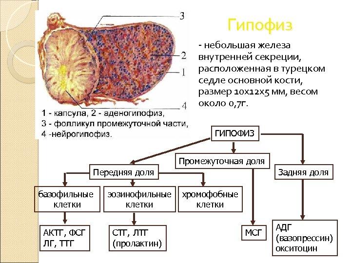Гипофиз - небольшая железа внутренней секреции, расположенная в турецком седле основной кости, размер 10