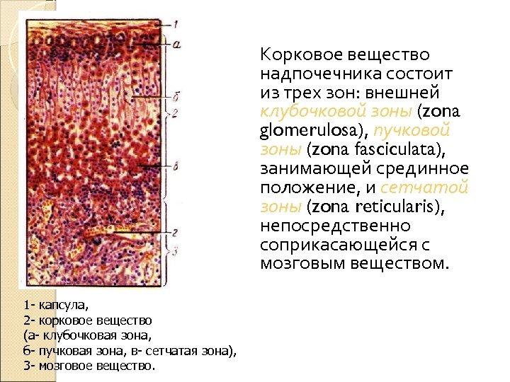 Корковое вещество надпочечника состоит из трех зон: внешней клубочковой зоны (zona glomerulosa), пучковой зоны