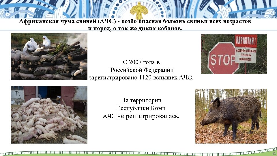 Африканская чума свиней (АЧС) - особо опасная болезнь свиньи всех возрастов и пород, а