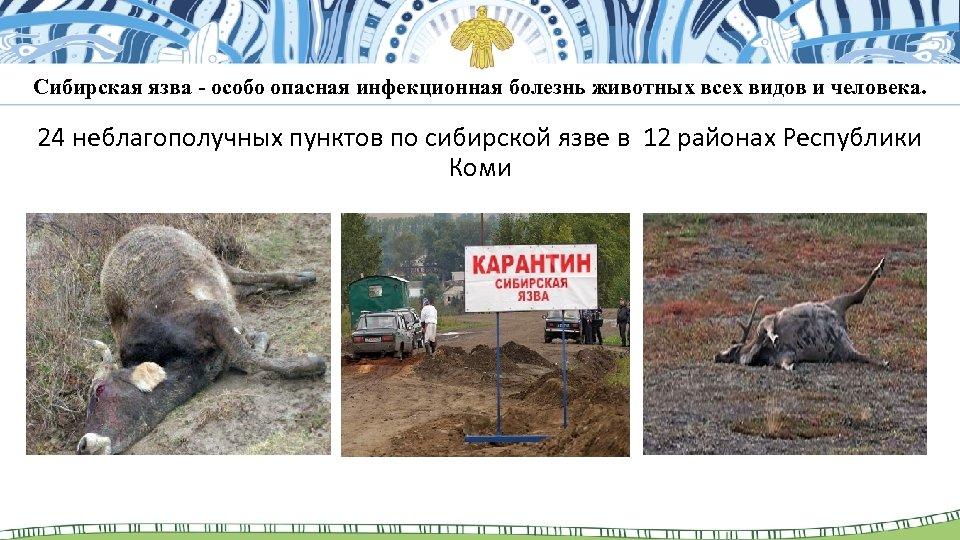 Сибирская язва - особо опасная инфекционная болезнь животных всех видов и человека. 24 неблагополучных